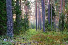Landscape of pine forest Stock Photo