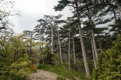 Landscape pine forest in the mountains. Summer landscape pine forest in the mountains Stock Image