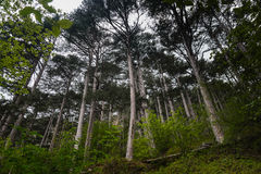 Landscape pine forest in the mountains. Summer landscape pine forest in the mountains Royalty Free Stock Photos