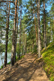Landscape with pine forest Royalty Free Stock Image