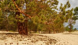 Landscape of pine forest on golden sandy beach of sea, close-up. Landscape of pine forest on sand beach of bay. Coniferous tree close-up on golden sandy shore stock photography