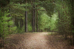 Landscape in a pine forest. In the spring with a wood footpath and beautiful trees Stock Photos