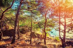 Landscape with pine forest at sunset. At coast royalty free stock image