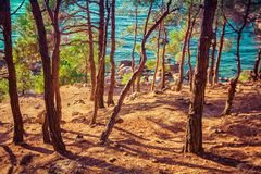 Landscape with pine forest at sunset. Near sea royalty free stock photography