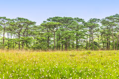 Landscape of pine forests with blue sky Stock Image