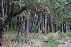 The landscape of pine forests_2 Royalty Free Stock Photos