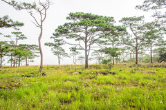 Landscape with pine forests was covered by mist Royalty Free Stock Images