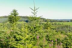 Landscape with a pine plantation. Stock Photos