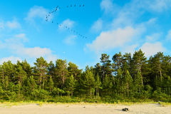 Landscape with pine tree forest growing on dunes at Baltic sea shore and blue sky with cormorants flying in a V formation. Stock Photos