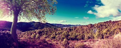 Landscape pine tree and sunset panorama Stock Image