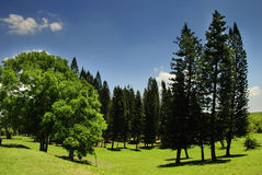 Landscape with pine trees Royalty Free Stock Photography