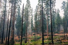 Landscape in a pine trees forest, Yosemite National Park. Landscape in a pine trees forest; smoke from Ferguson Fire present in the air; Mariposa Grove; Yosemite royalty free stock images