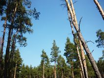 Landscape with pines. Pine forest. Beautiful blue sky. Spring forest beauty. Pine trees. Horizontal photo royalty free stock photo
