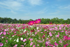 Landscape of Pink Cosmos Garden Royalty Free Stock Photo
