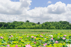 Landscape with Pink Lotus in a lake Royalty Free Stock Images