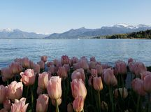 landscape with pink tulip flowers on the shore of a lake royalty free stock photography