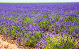 Landscape with plant of blue lavender royalty free stock photos