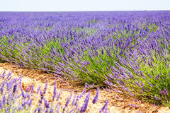 Landscape with plant of blue lavender. In sunny summer day royalty free stock photo
