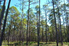 Landscape Planted Pines on Forestry Land 2 Royalty Free Stock Images