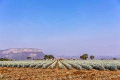Tequila agave  lanscape. Landscape of planting of agave plants to produce tequila Stock Image