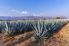 Tequila agave  lanscape. Landscape of planting of agave plants to produce tequila Stock Photos