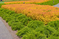 Landscape planting using Spirea and Juniper Stock Photography