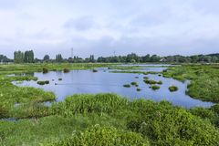 Landscape at Poelgeest polder. Reedbeds at Poelgeest polder in summer stock photo