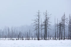 Winter forest in a fog Stock Photos