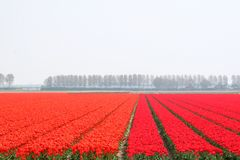 Red and orange spring landscape, flowerculture in the Noordoostpolder, Flevoland, Netherlands Royalty Free Stock Photo