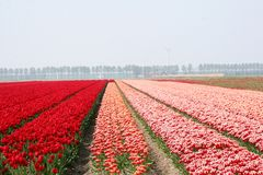 Red landscape in the polder in spring,Netherlands Stock Photography