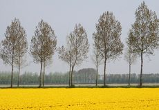 Yellow agricultural spring landscape along the bulb route in Noordoostpolder, Flevoland, Netherlands Stock Image