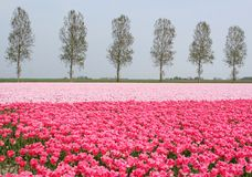 Pink tulips landscape along the touristic bulb route, Noordoostpolder, Flevoland, Netherlands. Flowerculture business in Holland. Pink landscape with blooming Royalty Free Stock Photo