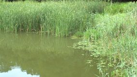 Landscape of a pond in a public park with tall reeds. Small ripples on the surface of the water cause by insects moving across the pond.n stock video