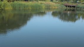 Landscape of a pond in a public park with tall reeds. Pond in a public park with tall reeds and a wooden observation deck Small ripples on the surface of the stock footage