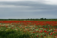 Landscape with poppies and chamomile-10 Stock Images