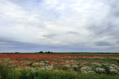 Landscape with poppies and chamomile-14 Stock Photography