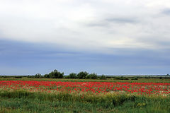 Landscape with poppies and chamomile-12 Royalty Free Stock Image