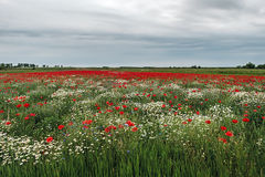 Landscape with poppies and chamomile-15 Royalty Free Stock Images