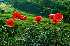 Landscape with poppies-1 Stock Image