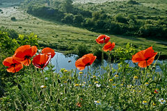 Landscape with poppies-2 Royalty Free Stock Photo