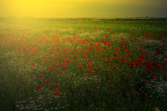 Landscape with poppies and chamomile in sunset light 4 stock image