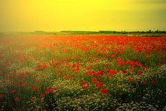 Landscape with poppies and chamomile in sunset light 2 royalty free stock photo
