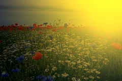 Landscape with poppies and chamomile in sunset light 3 stock photo