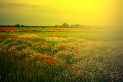 Landscape with poppies and chamomile in sunset light 6 Stock Photography