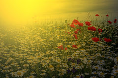 Landscape with poppies and chamomile in sunset light stock image