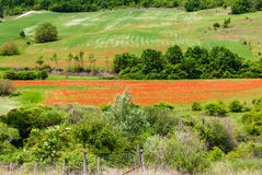 Landscape with poppies Royalty Free Stock Photo