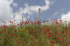 Landscape with poppies near Corte, Corsica, France Royalty Free Stock Image