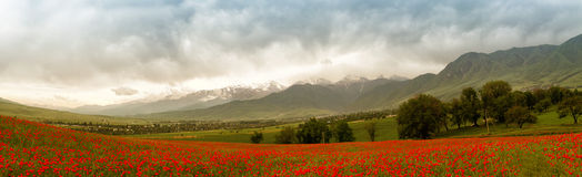 Landscape of poppies Royalty Free Stock Image