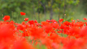 Landscape with Poppies. Stock Images