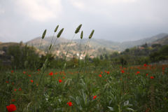 Landscape with Poppies. Stock Photos